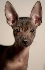 Xoloitzcuintle גזע כלבים מקסיקני